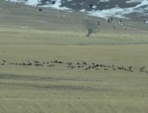 A massive elk herd