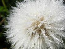 Macro image of a dandelion
