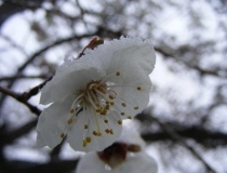 Fruit blossom in the snow