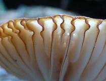 Macro mushroom