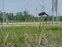 A red-wing black bird at a rest area in Nebraska