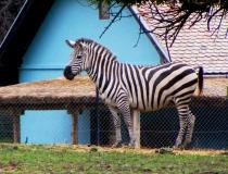 Zebra in in Osijek Croatia