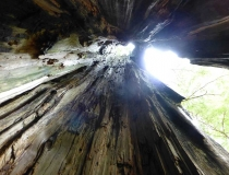 Inside a massive, hollow cedar