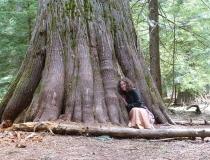 A massive cedar