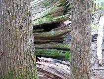 A massive fallen cedar