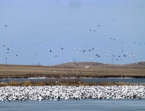 Massive flocks of snow geese