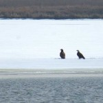 Eagles on a tiny frozen lake