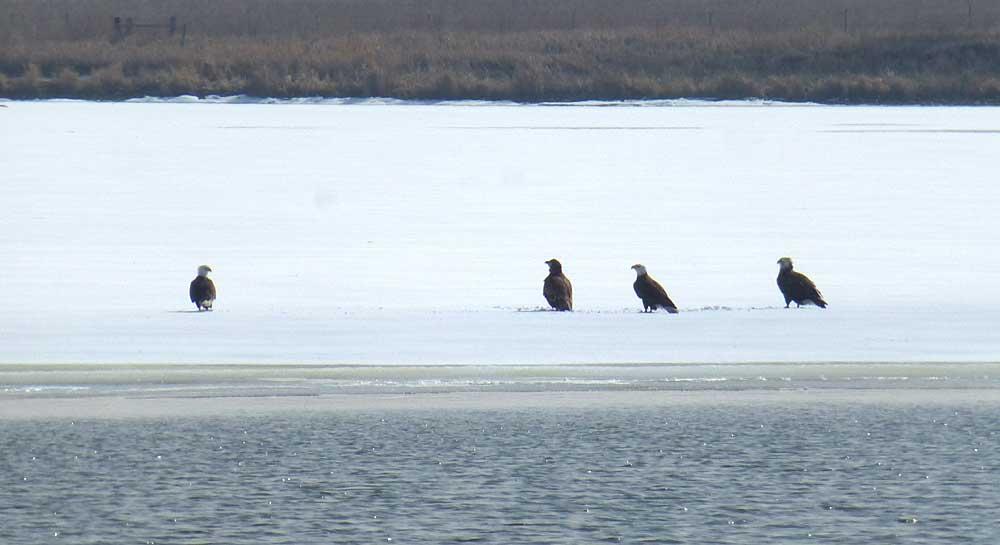 Eagles on a tiny frozen lake